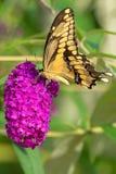 Giant Swallowtail Butterfly - Papilio cresphontes. Giant Swallowtail Butterfly collecting nectar from a butterfly bush flower. Rosetta McClain Gardens, Toronto royalty free stock photo