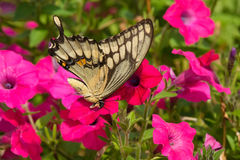 Giant Swallowtail Butterfly - Papilio cresphontes. Giant Swallowtail Butterfly collecting nectar from a pink flower. Rosetta McClain Gardens, Toronto, Ontario royalty free stock images