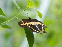 Giant Swallowtail butterfly on a green branch with smooth bokeh background. Giant Swallowtail butterfly with yellow and black wings on a green branch with smooth royalty free stock photo