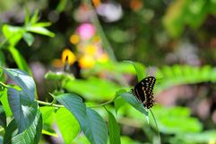 Giant Swallowtail butterfly on green leaf Royalty Free Stock Image