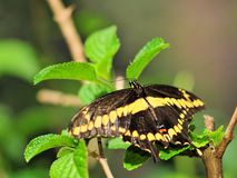 Giant Swallowtail butterfly on green leaves Royalty Free Stock Photos