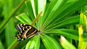 Giant Swallowtail butterfly on green plant Stock Images