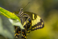 Giant Swallowtail Butterfly Head. Hanging onto the edge of a green leaf, a yellow and blue spotted, black winged giant swallowtail butterfly head and thorax are royalty free stock images