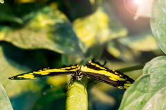 Giant Swallowtail Butterfly in The Butterfly house in Vienna.  royalty free stock photo