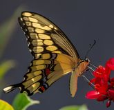 Giant Swallowtail Butterfly on Jatropha. Flowers royalty free stock images