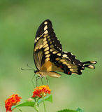 Giant swallowtail butterfly on Lantana with copy space Stock Photos
