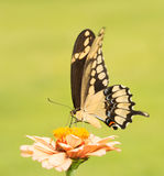 Giant Swallowtail butterfly on a pale orange Zinnia Stock Photos