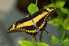 Giant Swallowtail Butterfly (Papilio cresphonte) Stock Photography