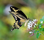 Giant Swallowtail butterfly (Papilio cresphontes) Royalty Free Stock Image