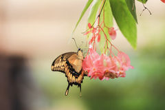 Giant Swallowtail butterfly (Papilio cresphontes) Royalty Free Stock Photography