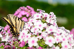 Giant Swallowtail butterfly (Papilio cresphontes) Royalty Free Stock Images