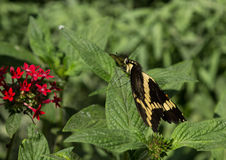 Giant swallowtail butterfly Stock Images