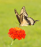 Giant Swallowtail butterfly, Papilio cresphontes Stock Photography