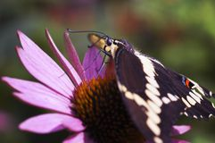 Giant Swallowtail Butterfly on Pink Coneflower Stock Photo
