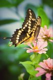 Giant Swallowtail butterfly on pink zinnia. A beautiful Giant Swallowtail butterfly nectars on a pink zinnia, using a proboscis royalty free stock photography