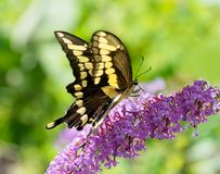 Giant swallowtail butterfly on a purple butterfly bush. A giant swallowtail butterfly, Papilio cresphontes, the largest butterfly in North America feeds from a royalty free stock photo