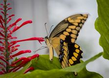 Giant Swallowtail butterfly on red flower stock photos