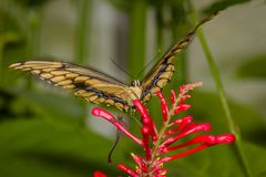 Giant Swallowtail butterfly on red flower stock photo