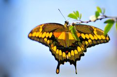 Giant Swallowtail butterfly (underside) Royalty Free Stock Images