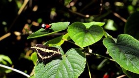 Giant Swallowtail butterfly (upper side) Stock Photos