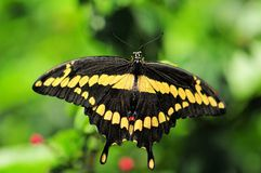 Giant Swallowtail butterfly (upper side view) Royalty Free Stock Image