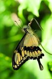 Giant Swallowtail Butterfly (Vertical) Stock Images