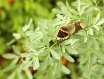 Giant Swallowtail Caterpillar eating leaves of the Rue plant Royalty Free Stock Photography