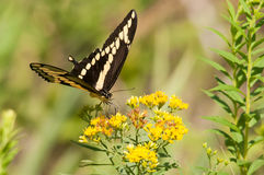 Giant Swallowtail. Feeding on wildflowers royalty free stock photos