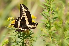 Giant Swallowtail. Feeding on wildflowers stock images