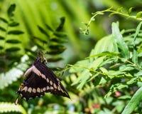 Giant Swallowtail Royalty Free Stock Image