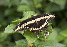 Giant Swallowtail on a leaf. Pictured is a Giant Swallowtail Butterfly on a leaf in the Butterfly House in the Heard Wildlife Sanctuary in McKinney, Texas.  The Royalty Free Stock Images