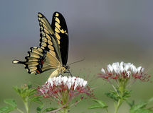 Giant Swallowtail, Papilio cresphontes Stock Image
