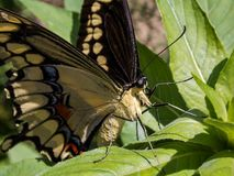 Giant Swallowtail Butterfly Sunning. The giant swallowtail Papilio cresphontes is the largest butterfly in North America. It is abundant through many parts of stock photos