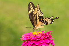 Giant Swallowtail on a pink flower Stock Image