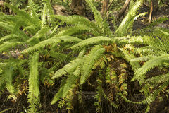 Giant sword fern in the understory at Corkscrew Swamp, Florida. Royalty Free Stock Photography