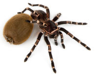 Giant tarantula. Geniculata white-knee brazilian tarantula near the kiwi fruit for the scale Stock Image