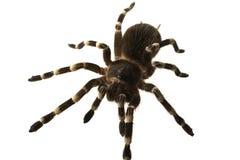 Giant tarantula Acanthoscurria geniculata isolated Stock Image