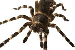 Giant tarantula Acanthoscurria geniculata isolated Royalty Free Stock Photography