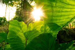 Giant taro leaf texture and sunlight of afternoon. Forest and environment concept stock image