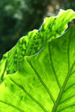 Giant Taro Leaves Stock Images
