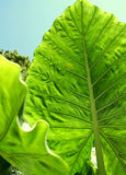 Giant Taro Leaves stock photo