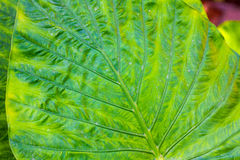 Giant Taro leaves (Alocasia) Royalty Free Stock Images