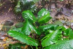 Giant Taro leaves (Alocasia) Stock Photos