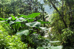 Giant taro plant in jungle Stock Photography