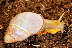 Giant Terrestrial Snail. (Megalobulimus Sp royalty free stock photos