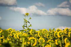 Giant Texas Sunflower Standing Out From the Crowd Royalty Free Stock Photography