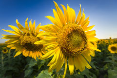 Giant Texas Sunflowers Stock Photo