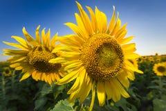 Giant Texas Sunflowers Stock Photo