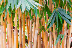 Giant Thorny Yellow Bamboo Royalty Free Stock Photos
