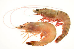 Giant Tiger Prawns Royalty Free Stock Photo
